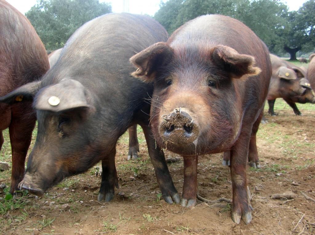 cerdo iberico 1