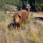 cerdo iberico 2