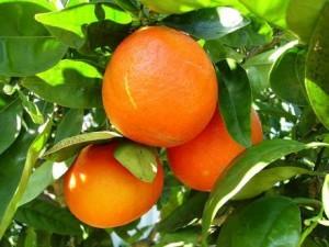 Naranjas_ecologicas_en_el_arbol