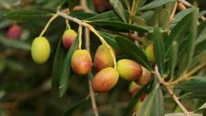 aceitunas olivo