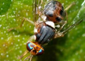 mosca-olivo-aceituna
